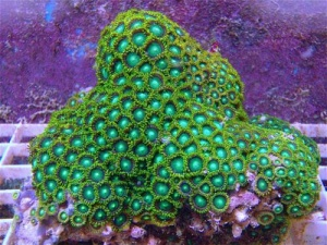 Small  Radioactive Dragon Green Zoanthid