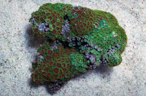 Very Large Red Eagle  Eyes and Radioactive Dragon Green Zoanthid