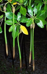 "Red Mangrove Plant 7-12"" long 4-6 months old"