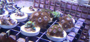 Zoa Zoas Frag Pack Mix of 10 Corals